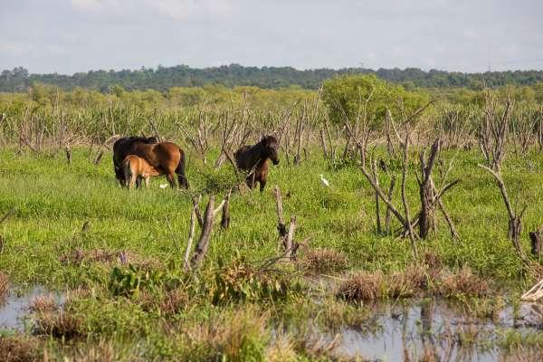 Wild horses on Paynes Prarie