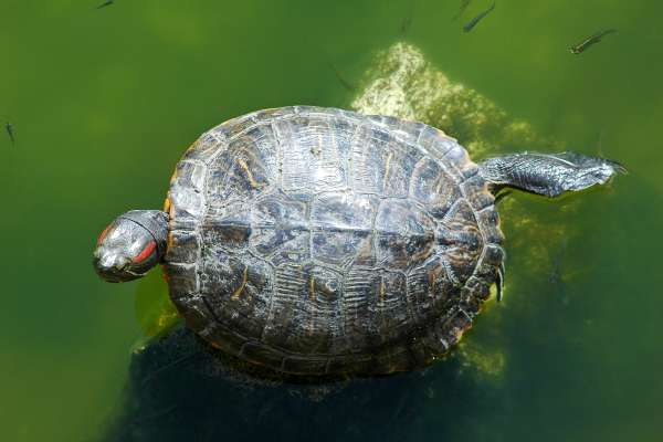 Turtle swimming in pond